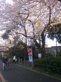 神宮球場周辺の桜